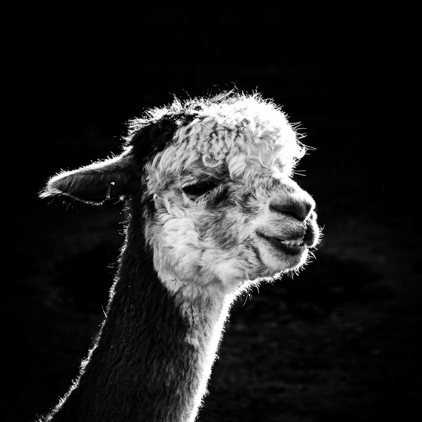 This is an alpacha looking llama